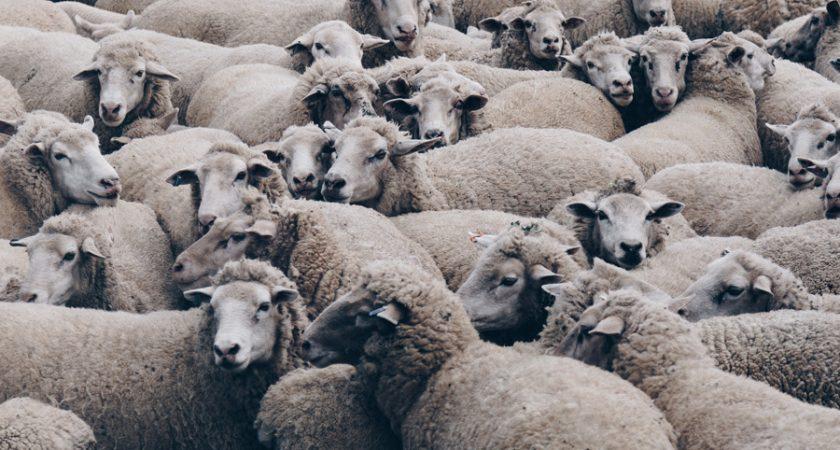 sheep_heroimage_Dec2020newsletter